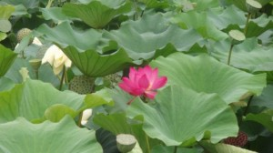 лотус meizitang botanical slimming